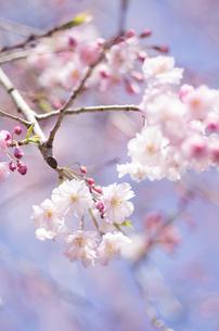 皇居の紅枝垂桜の写真素材 [FYI00287675]