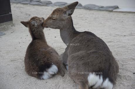 宮島の鹿の親子の写真素材 [FYI00287701]