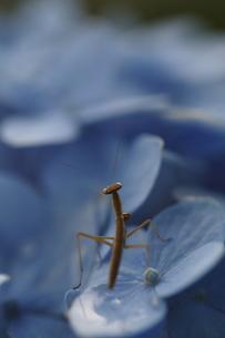 紫陽花とカマキリの写真素材 [FYI00287741]