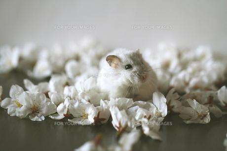 桜の花びらとハムスターの写真素材 [FYI00287746]