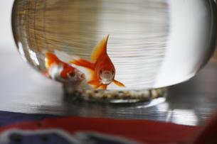 金魚の写真素材 [FYI00287753]