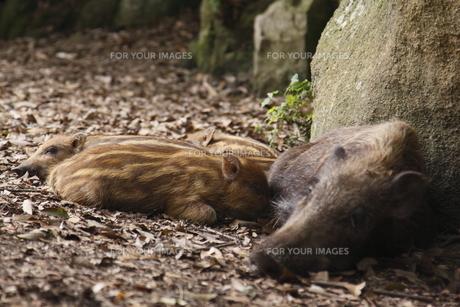 猪の親子の写真素材 [FYI00287791]