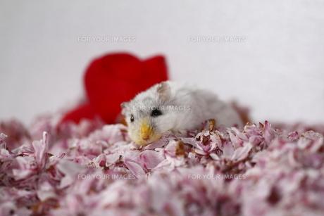 桜の花びらとハムスターの写真素材 [FYI00287803]