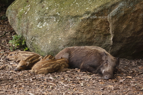 猪の親子の写真素材 [FYI00287815]