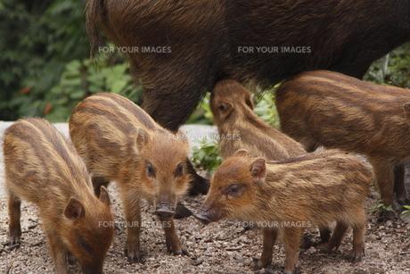 猪の授乳の写真素材 [FYI00287817]