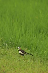 迷い鳥 レンカクの写真素材 [FYI00287825]