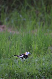 迷い鳥レンカクの写真素材 [FYI00287828]