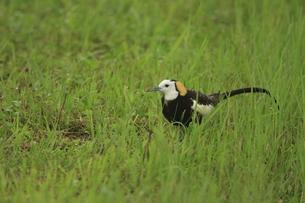 迷い鳥 レンカクの写真素材 [FYI00287835]