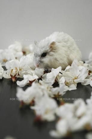 桜の花びらとハムスターの写真素材 [FYI00287875]