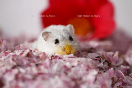 ジャンガリアンハムスターと桜の花びらの写真素材 [FYI00287887]