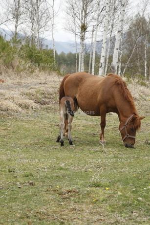 親子馬の写真素材 [FYI00287904]