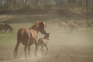 親子馬の素材 [FYI00287907]