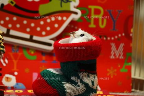クリスマスブーツの写真素材 [FYI00287972]