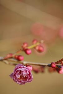 梅の写真素材 [FYI00287976]