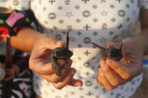 アカウミガメの赤ちゃんの写真素材 [FYI00287995]