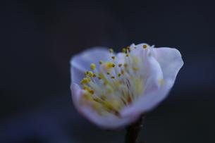 可憐花の写真素材 [FYI00287996]