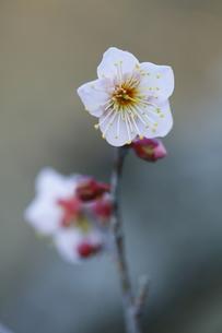 梅の写真素材 [FYI00288003]