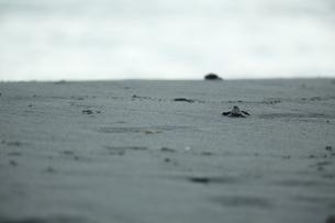アカウミガメの旅の素材 [FYI00288042]