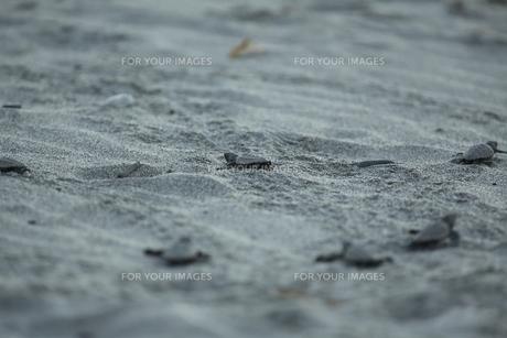 アカウミガメたちの旅の素材 [FYI00288049]