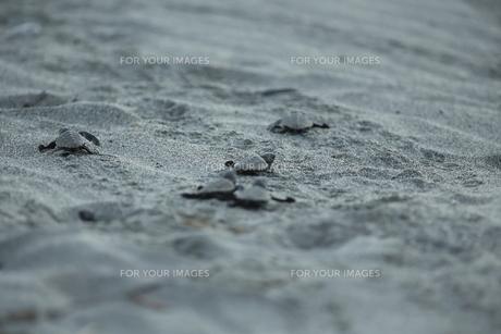 アカウミガメの旅の素材 [FYI00288051]