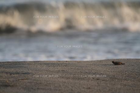 アカウミガメの旅の素材 [FYI00288064]