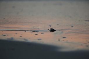 アカウミガメの旅の素材 [FYI00288072]
