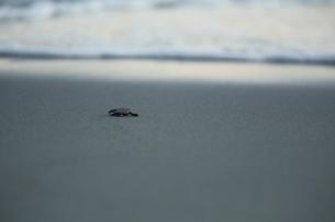アカウミガメの旅の素材 [FYI00288075]
