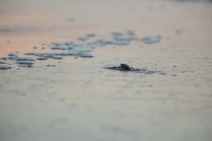 アカウミガメの旅の素材 [FYI00288077]