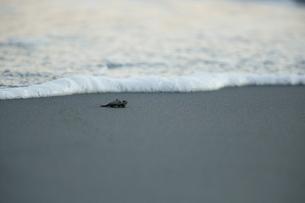 アカウミガメの素材 [FYI00288081]