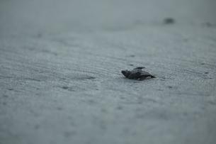 アカウミガメの旅の素材 [FYI00288085]