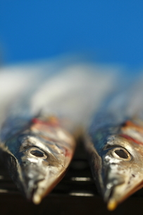 秋刀魚の写真素材 [FYI00288115]