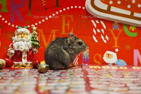 ハムスターンのクリスマスの写真素材 [FYI00288119]