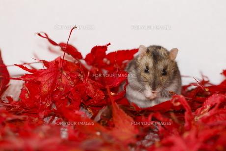 秋色の中のハムスターの写真素材 [FYI00288160]
