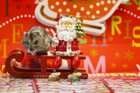 ハムスターのクリスマスイブの写真素材 [FYI00288169]