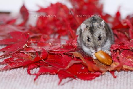 ドングリを食べるハムスターの写真素材 [FYI00288172]