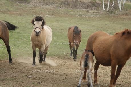 走る木曽馬の写真素材 [FYI00288176]