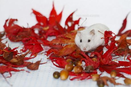 秋の中のハムスターの写真素材 [FYI00288179]