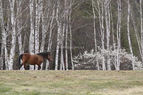 白樺林と木曽馬の素材 [FYI00288180]