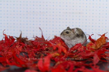 秋色のハムスターの写真素材 [FYI00288185]
