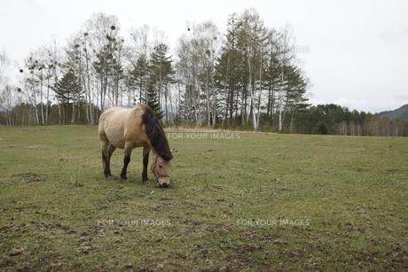 開田高原の木曽馬の素材 [FYI00288196]