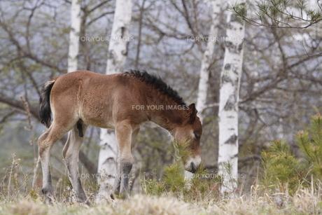 木曽馬の仔馬の素材 [FYI00288200]