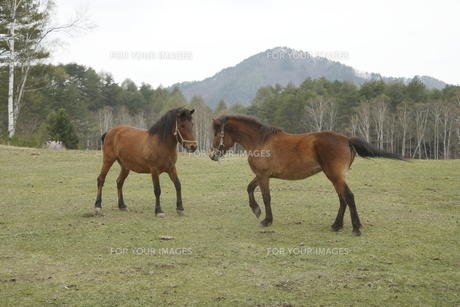 戦う木曽馬の素材 [FYI00288205]