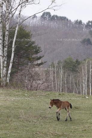 木曽馬の仔馬の素材 [FYI00288207]
