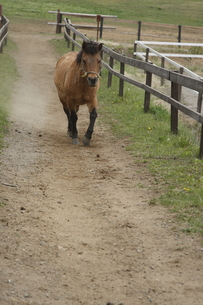 快走する木曽馬の素材 [FYI00288211]