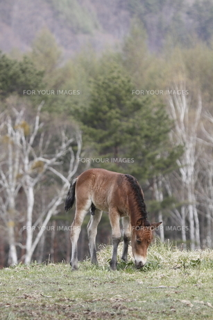 木曽馬の仔馬の素材 [FYI00288214]