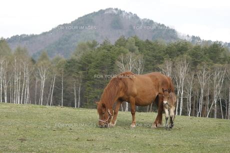 木曽馬の親子の写真素材 [FYI00288218]