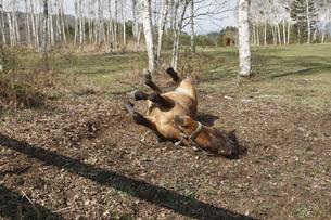寝ころぶ馬の素材 [FYI00288220]