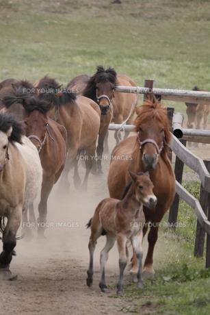 快走する親子馬の素材 [FYI00288222]