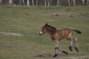 木曽馬の仔馬の素材 [FYI00288224]