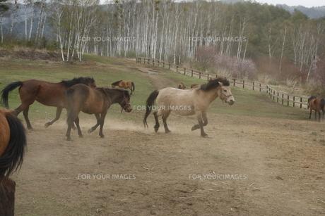 走る木曽馬の素材 [FYI00288226]